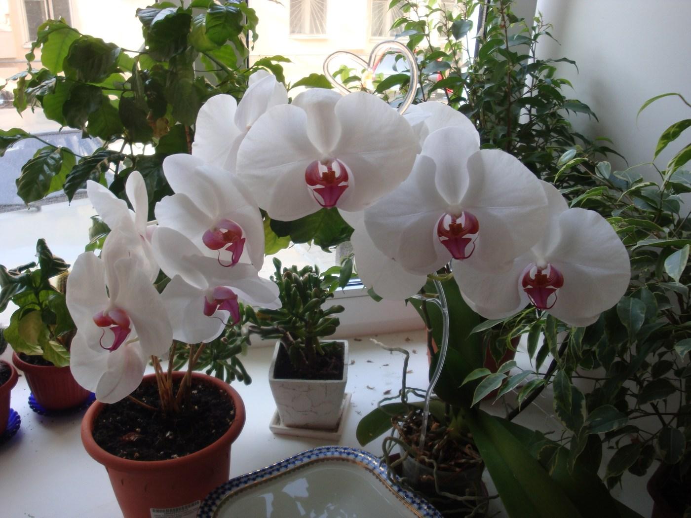 Орхидея комнатный уход в домашних условиях